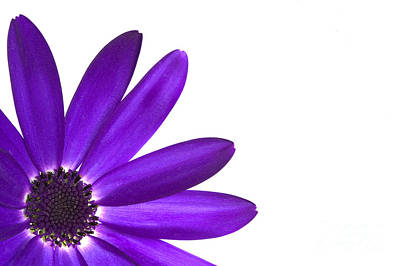 Purple Flowers Photograph - Senetti Deep Blue by Richard Thomas