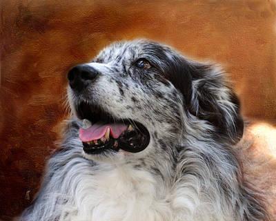 Herding Dog Photograph - Senior Australian Shepherd Portrait by Jai Johnson