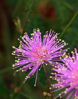 Photograph - Sensitive Briar Flower by Ira Runyan