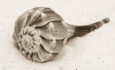 Photograph - Sepia Shell by Jim And Emily Bush