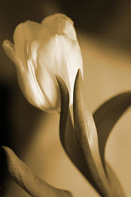 Sepia Tulip 2 Art Print by Peg Toliver