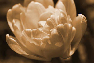 Sepia Tulip Frill Art Print by Peg Toliver