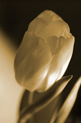 Sepia Tulip Art Print by Peg Toliver