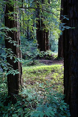 Photograph - Serenity In The Redwood Forest by Ben Upham III