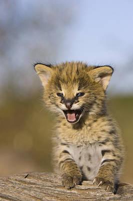 Photograph - Serval Kitten Calling Masai Mara by Suzi Eszterhas