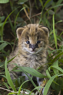 Photograph - Serval Kitten Its Ears Just Starting by Suzi Eszterhas