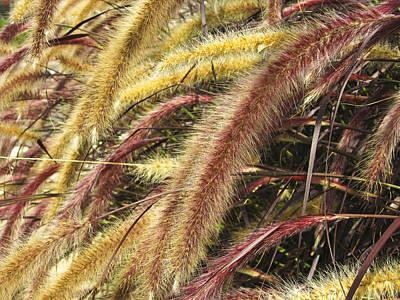 Setaria Italica Red Jewel - Red Bristle Grass Art Print by Anne Mott
