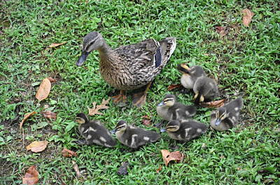 Seven Little Ducklings Art Print by Jan Amiss Photography