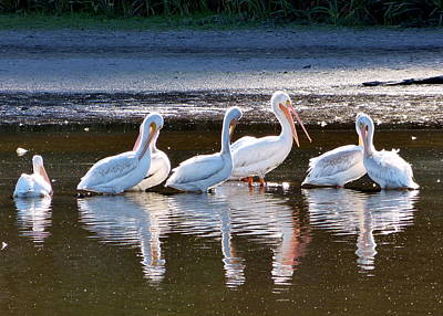 Photograph - Seven Pelicans Brief by Cindy Wright