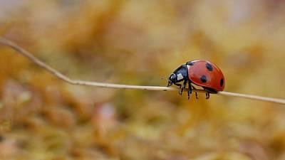 Photograph - Seven Spot Ladybird by Gavin Macrae
