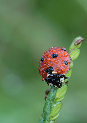 Art Print featuring the photograph Seven-spotted Lady Beetle On Grass With Dew by Daniel Reed