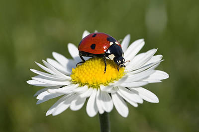 Seven-spotted Ladybird Coccinella Art Print