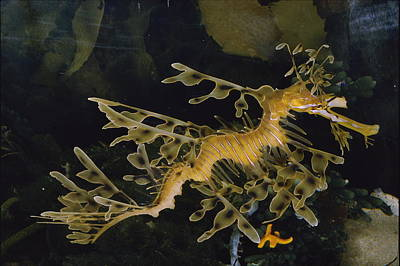 Leafy Sea Dragon Photograph - Several Views Of The Leafy Sea Dragon by Paul Zahl