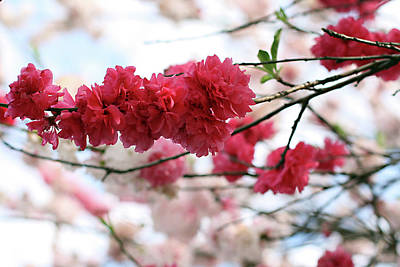 Shades Of Pink Blossom Print by photo by Marcia Luly