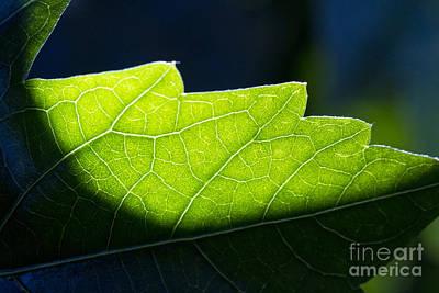 Shadow On Leaf -1 Art Print