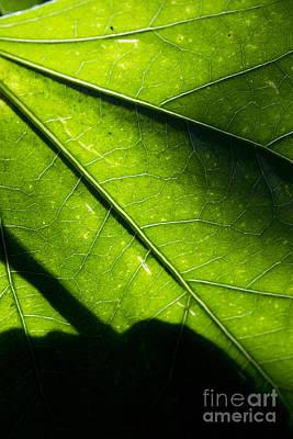 Shadow On Leaf -2 Art Print