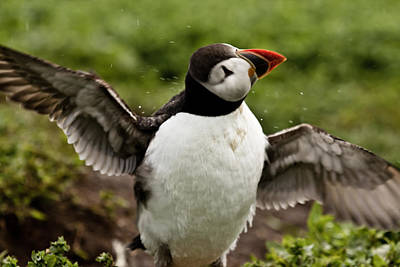 Photograph - Shaking Puffin by Justin Albrecht