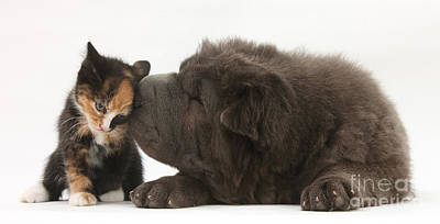 Photograph - Shar Pei Puppy And Kitten by Mark Taylor