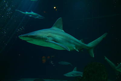 Preditor Photograph - Shark by Jeff Swan