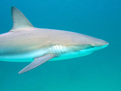 Shark Profile Art Print by Ted Papoulas