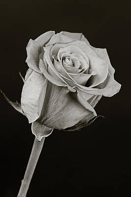 Sharp Rose Black And White Art Print by M K  Miller