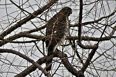 Photograph - Sharp Shinned Hawk by Joe Faherty