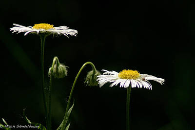 Art Print featuring the photograph Shasta Daisies by Mitch Shindelbower