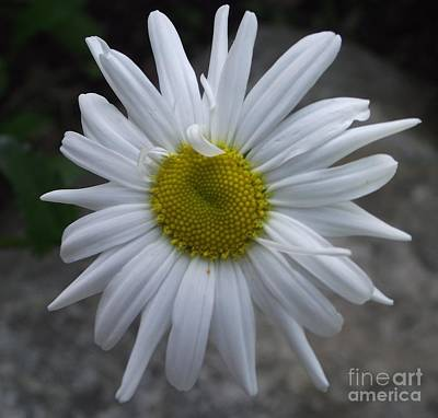 Photograph - Shasta Daisy by Michelle Welles