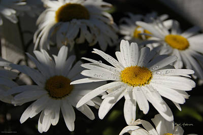 Bath Time Rights Managed Images - Shasta Daisy Water Droplets Royalty-Free Image by Mick Anderson