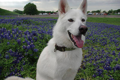 Photograph - Shasta In Bluebonnets II by Robyn Stacey
