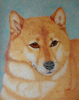 Dog Close-up Drawing - Sheba Inu  by Karen Curley