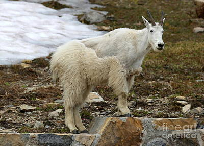 Photograph - Shedding Mountain Goat by Carol Groenen