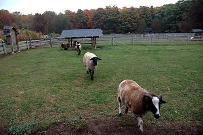 Photograph - Sheep Calling by LeeAnn McLaneGoetz McLaneGoetzStudioLLCcom
