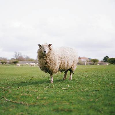 Sheep Portrait Photograph - Sheep by Carl John Spencer