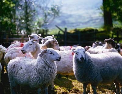 Sheep, Co Kerry, Ireland Art Print by The Irish Image Collection
