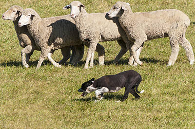 Sheep Dog Trials Art Print
