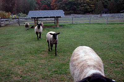 Photograph - Sheep Feed Time by LeeAnn McLaneGoetz McLaneGoetzStudioLLCcom