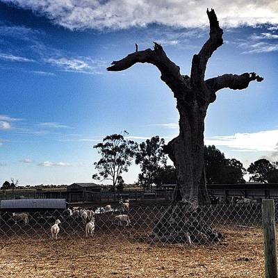 Sheep Photograph - #sheep #fenceporn #trees #treeporn by Tiara Belle