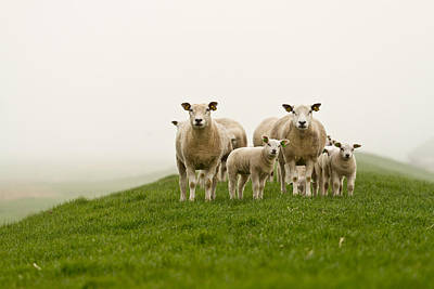 Sheep Portrait Photograph - Sheep by GettyImages Flickr nldazuu
