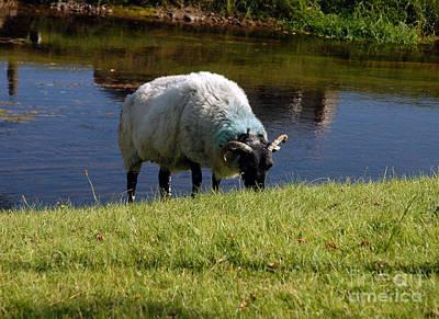 Connemara Digital Art - Sheep Grazing Connemara Ireland by Joe Travers