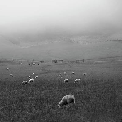 Sheep Grazing Art Print