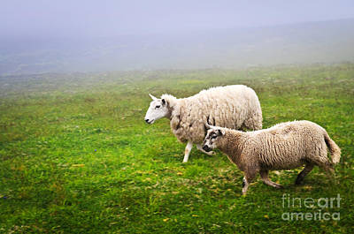 Animals Photos - Sheep in misty meadow by Elena Elisseeva