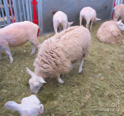 Photograph - Sheep In Shear Panic by Donna Munro