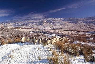 Sheep In Snow, Glenshane, Co Derry Art Print