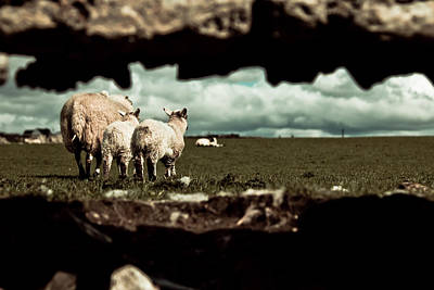 Sheep In The Wall Art Print by Justin Albrecht