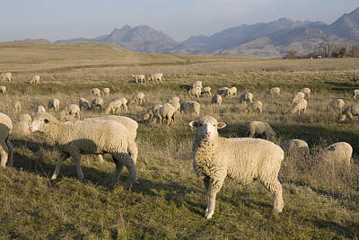 Photograph - Sheep by Mark Greenberg