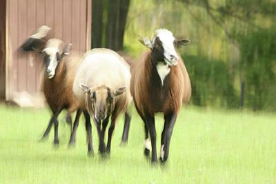 Sheep On The Run Art Print by Karol Livote