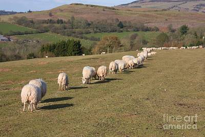 Photograph - Sheep Queue by Ed Lukas