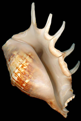 Photograph - Shell - Conchology - Conch by Mike Savad