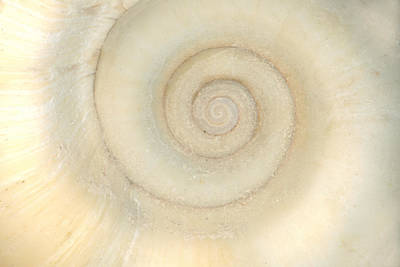 Photograph - Shell - Conchology - White Spiral by Mike Savad